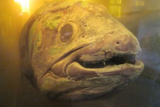 Ryba może żyć nawet 100 lat