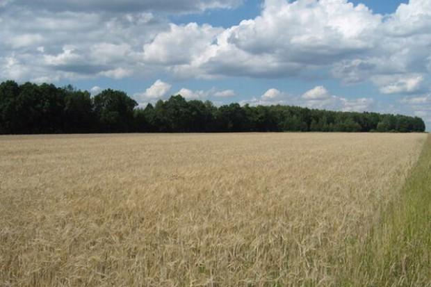 Nowe szacunki tegorocznych zbiorów zbóż w Rosji - 85 mln t