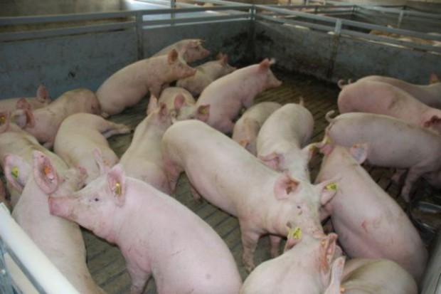 Klasyczny pomór świń 120 km od polskiej granicy