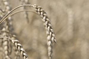 Notowania pszenicy w Paryżu znów spadają, zniżki trwają już od kilku tygodni