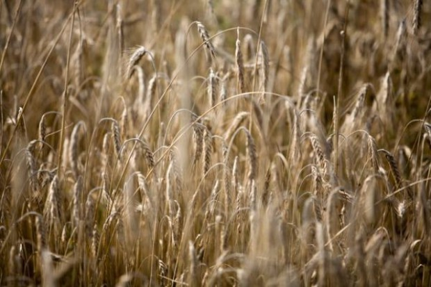 Prognoza cen pszenicy paszowej