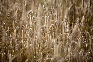 Eksperci FAO: W tym roku światowa produkcja zbóż wzrośnieo 3,3 proc.