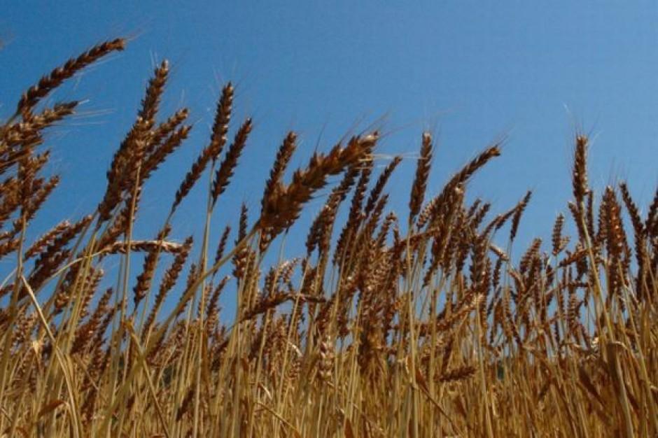 Spadki notowań pszenicy na światowych giełdach wyhamowały