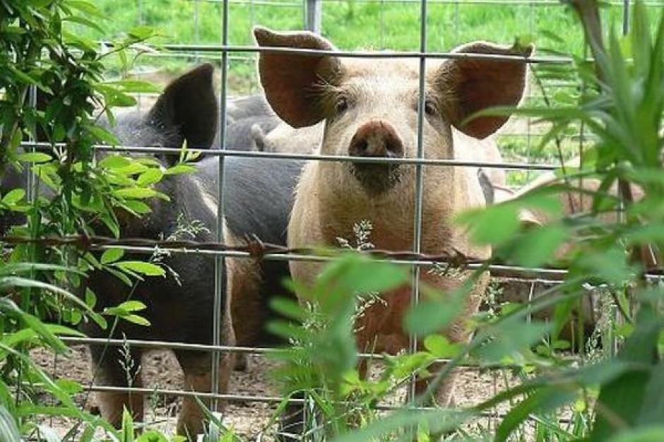 Producenci świń niechętnie łączą się w grupy
