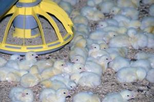 Rosja zapowiada zakaz importu żywca drobiu z UE