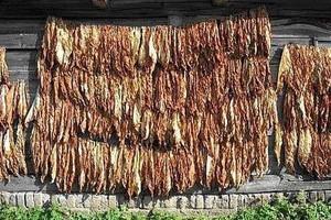 Pies Chiuhuahua przegonił w USA złodziei okradających sklep z tytoniem