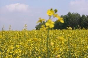 Eksperci: Tegoroczne zbiory rzepaku mogą być niższe, z oceną zbóż trzeba poczekać do żniw