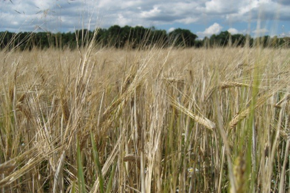 Pogoda utrudnia zbiory zbóż, żniwa nawet nie na półmetku