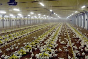 Prognozy światowej produkcji mięsa drobiowego w 2011 roku