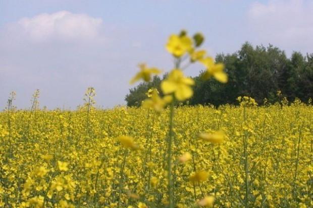 PSPO: Mijający sezon należy zaliczyć do niesprzyjających dla uprawy rzepaku