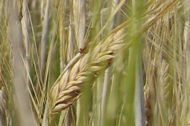 FAMMU/FAPA: Ceny giełdowe pszenicy stabilizują się, bo maleje niepewność co do zbiorów zbóż