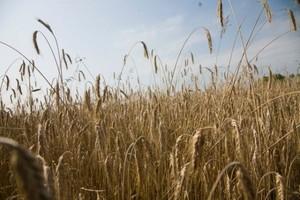 Wzrosły ceny skupu zbóż paszowych
