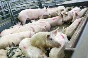 Import wieprzowiny: Chłodzone elementy z Niemiec i Danii
