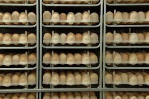 Spadek salda handlowego w sektorze jaj