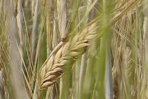 Konkurencyjność polskich zbóż na rynku wspólnotowym stopniowo rośnie