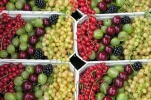 Mniejsze zbiory warzyw i owoców jagodowych, większe - owoców z drzew i malin