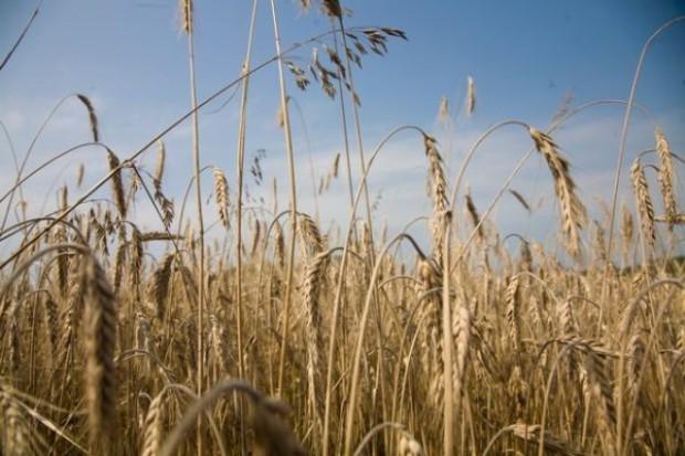 Wysoki kurs euro podtrzymuje ceny ziarna zbóż