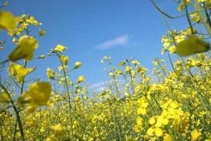 Areał uprawy rzepaku pod przyszłoroczne zbiory nie zmniejszy się