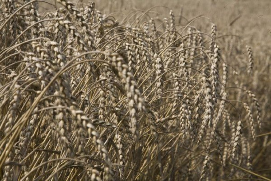 IERiGŻ: Zbiory będą lepsze, ale ziarna zbóż pozostaną drogie