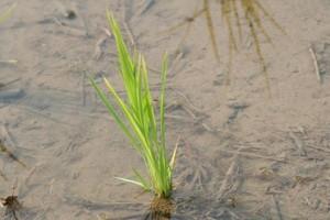 Kraje UE będą kontrolować wszystkie produkty na bazie chińskiego ryżu, pod względem zawartości GMO