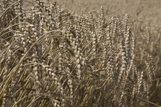 Całkowita produkcja zbóż we Wspólnocie w sezonie 2011/2012 wzrośnie o blisko 11 proc. w skali roku