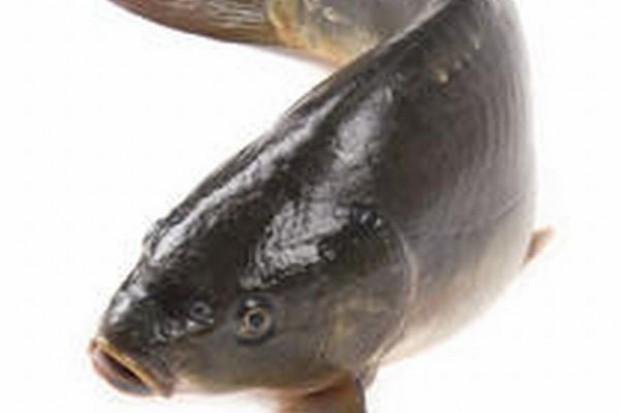 Opolskie gospodarstwa rybackie chcą wypromować karpia jako danie na cały rok