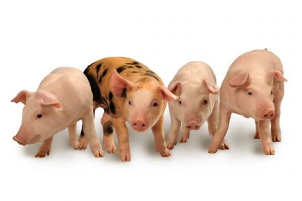 Nietypowa sytuacja na rynku wieprzowiny w UE