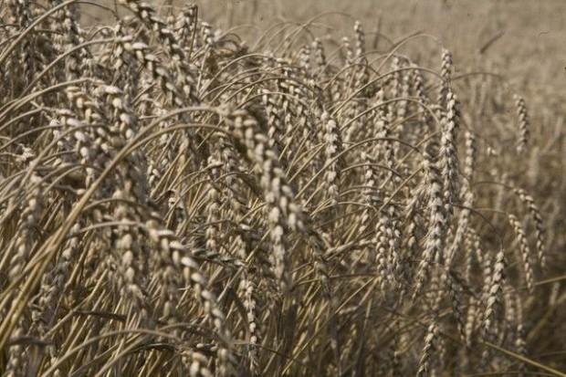 Jesienna susza zmniejszy plony zbóż w południowo-wschodniej Polsce