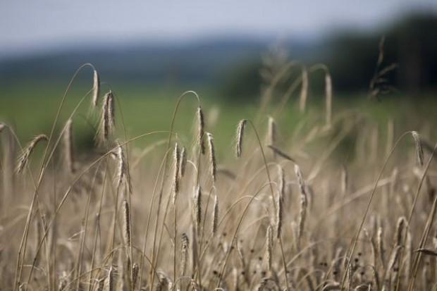 Niemal dwukrotnie obniżył się eksport zbóż