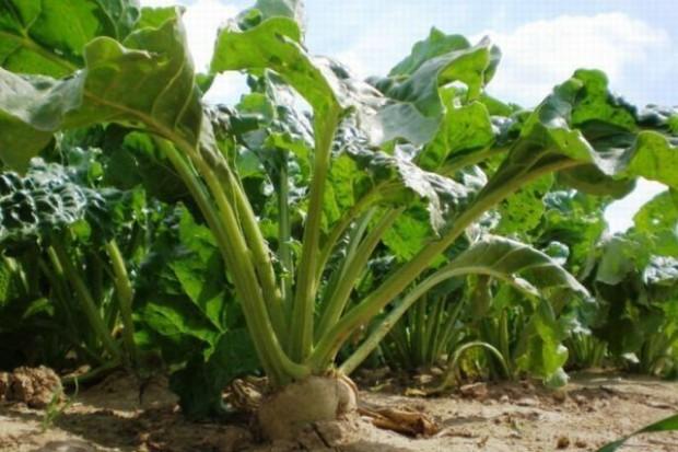 Wzrasta popyt sektora biopaliw na buraki cukrowe