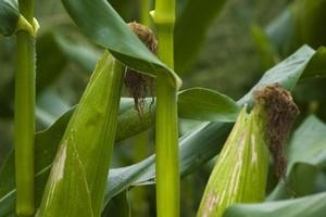 USDA rewiduje swoje prognozy dla rynku kukurydzy