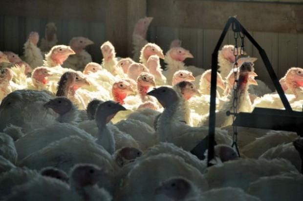 Rzecznik Indykpolu: Producenci drobiu są skazani na eksport