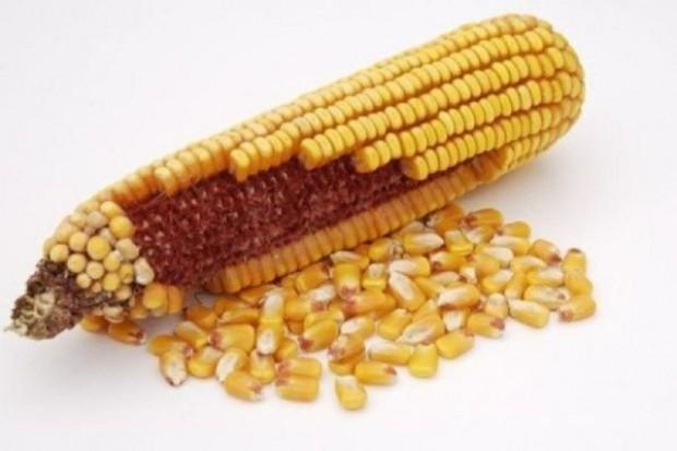 Na rynku zabraknie nasion popularnych odmian kukurydzy?