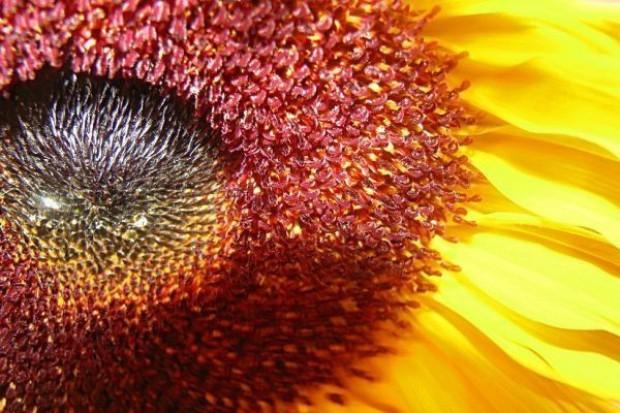 Produkcja oleju słonecznikowego znacznie wzrośnie