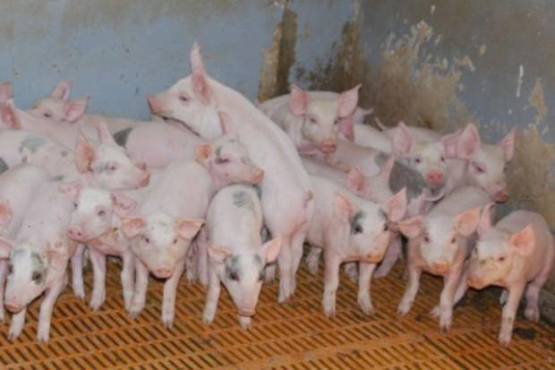 Spada pogłowie świń, ale rośnie wydajność produkcji