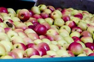 Globalna produkcja jabłek wzrosła o 4 proc.