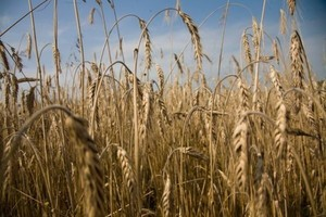 Straty w produkcji zbóż, wywołane mrozami, są niewielkie