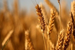 Trwa korekta cen zbóż