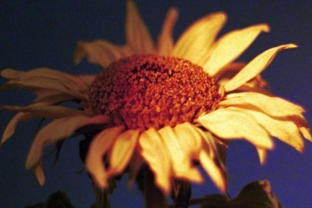 Na Ukrainie rekordowa produkcja słonecznika