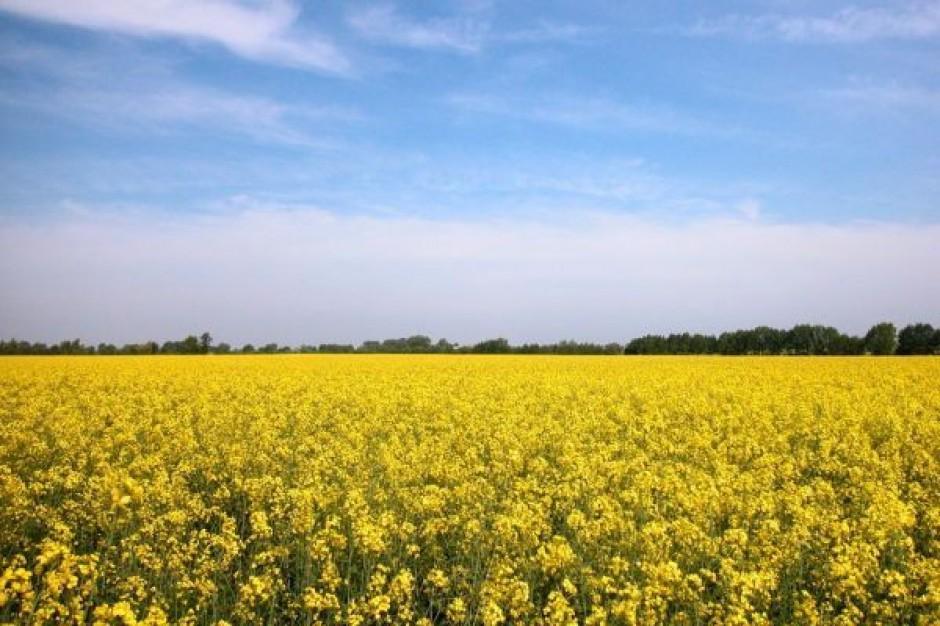 Straty na Ukrainie powodują zmniejszenie eksportu rzepaku