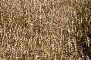IGC prognozuje wzrost areału upraw pszenicy w kolejnym sezonie