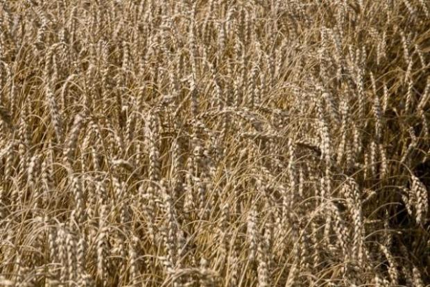 Korekta cen na rynku zbóż