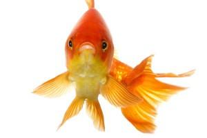 Droga złota rybka