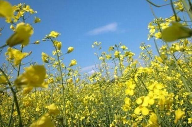 Producenci rzepaku szacują straty w 40 proc. upraw