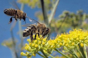 Eksperci alarmują: trzeba chronić zdrowie pszczół