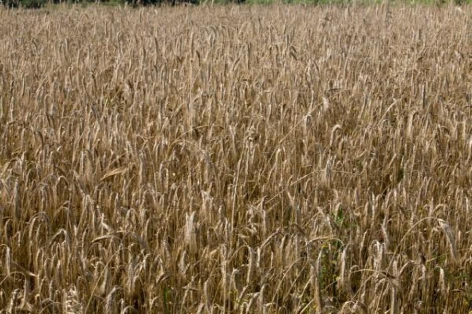 Zły stan zbóż ozimych, w szczególności pszenicy