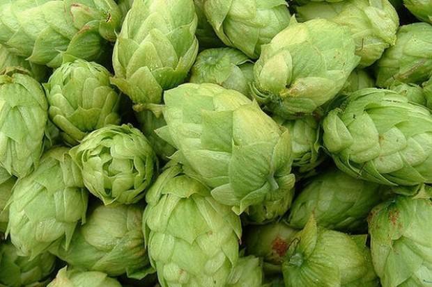 Do produkcji polskiego piwa będzie wykorzystywany wyłącznie polski chmiel