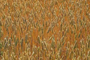 ARR: Zbiory zbóż będą nawet 10 proc. niższe niż w ub.r.