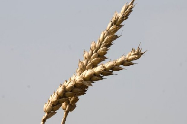 Zbiory zbóż w regionie basenu Morza Czarnego będą ponad 6 proc. niższe niż w ub.r.