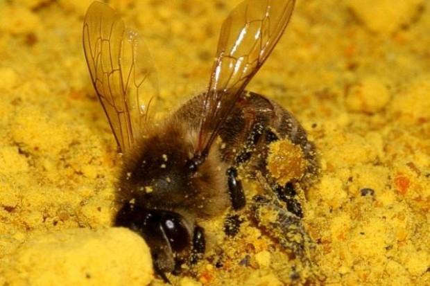 Pszczelarze: pszczoły giną masowo; sytuacja tragiczna